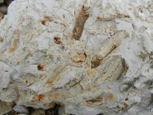 Fig.2 Rudiste fossili, Campo Catino