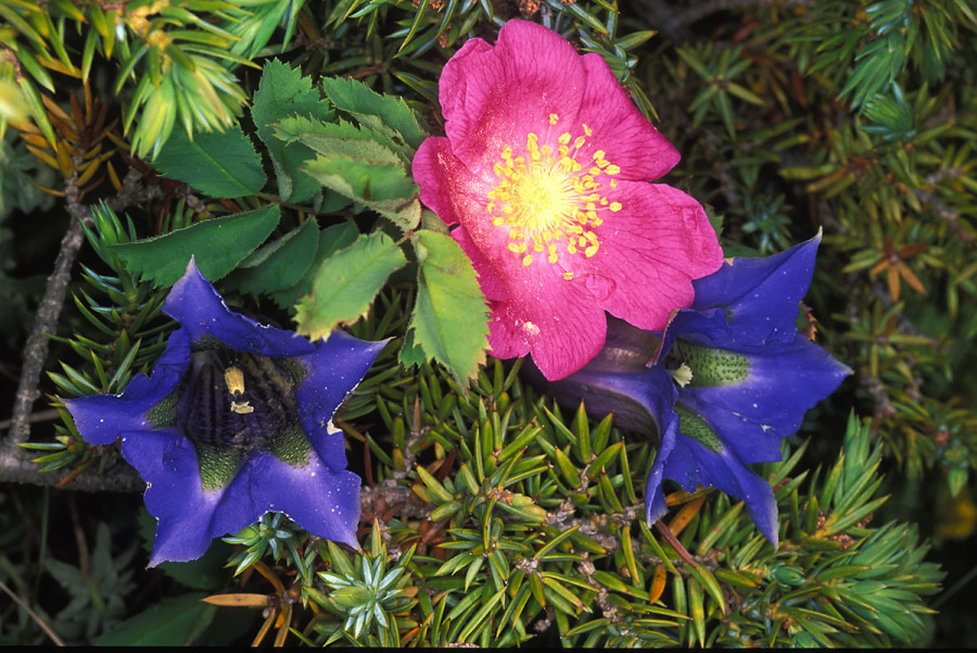 Rosa pendulina e Gentiana dinarica.