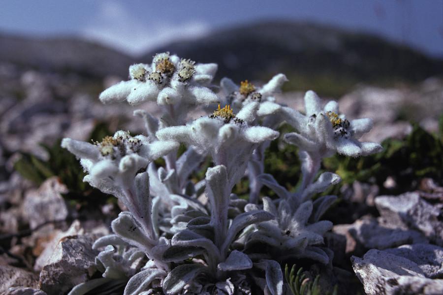 Leontopodium nivale (stella appenninica)