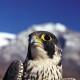 Falco peregrinus (falco pellegrino)