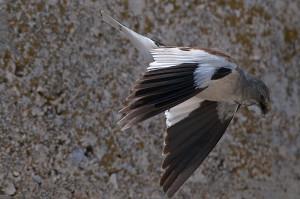 Montifringilla nivalis (fringuello alpino)