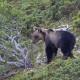 ERNICO, l'orso fotografato nel luglio del 2012 da Francesco Culicelli.