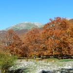 Fig. 3 - Faggi secolari, Valle dell'Agnello.