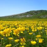 Campo Catino con fioritura di Botton d'oro, specie di origine Artica-Nord europea e Relitto Glaciale dell'ultima Glaciazione. Vedi Articoli Caratteri Vegetazionali e Pregi Floristici.