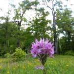 Orchidea tridentata e Querceto secolare