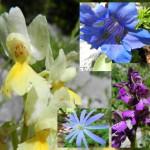 Alcune specie del sottobosco (in senso orario). Orchidea gialla, Genzianella, Orchidea minore e Anemone dell'appennino